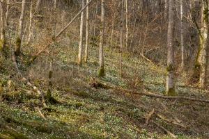 Fruehlingsboten im Bannwald am Albtrauf