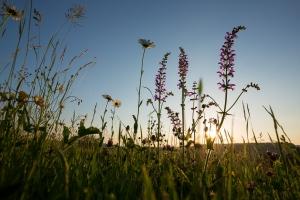 Blumenwiese im Gegenlicht