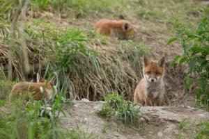 Fuchswelpen am Bau (Vulpes vulpes)
