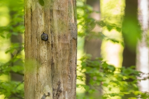 Sperlingskauz (Glaucidium passerinum)