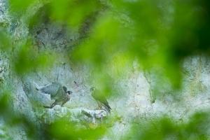 Junge Wanderfalken (Falco peregrinus)