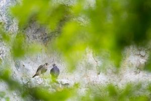 Junge Wanderfalken (Falco peregrinus) am Horst