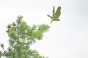 Abfliegender junger Wanderfalke (Falco peregrinus)
