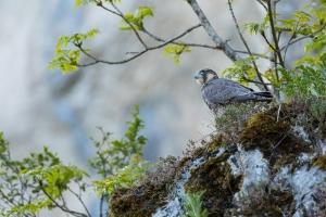 Wanderfalke (Falco peregrinus), gerade ausgeflogen