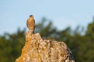 Wanderfalke (Falco peregrinus) im Morgenlicht