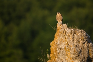 Wanderfalke (Falco peregrinus) im ersten Licht