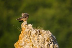 Ein junger Wanderfalke (Falco peregrinus) putzt sich in der Morgensonne