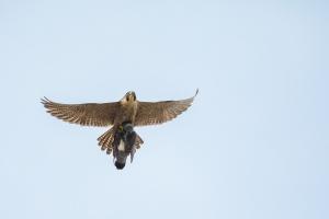 Wanderfalke (Falco peregrinus), weiblicher Falke mit Beute