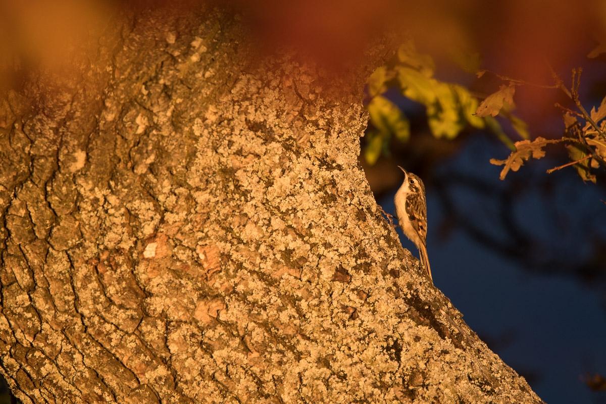 Waldbaumläufer, Certhia familiaris