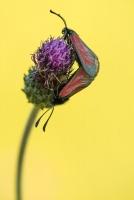 Thymian-Widderchen, Zygaena purpuralis