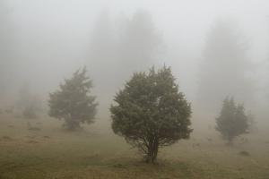 Wacholderheide im Nebel