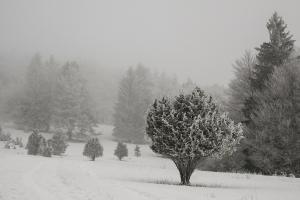 Schafberg,Wacholder im winterlichen Nebel