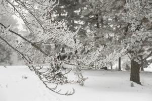 winterlicher Buchenzweig
