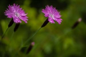 Pfingstnelke, Dianthus gratianopolitanus