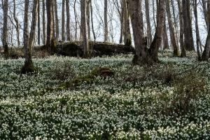 Märzenbecherblüte bei Emeringen
