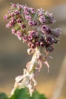 gewöhnliche Pestwurz, Petasites hybridus