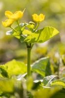 Sumpfdotterblume, Caltha palustris