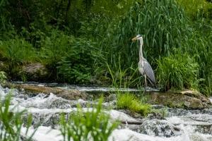 Graureiher im Donautal