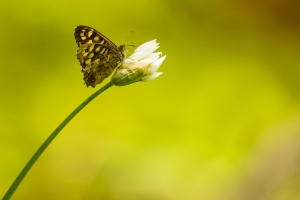 Waldbrettspiel, Pararge aegeria auf Bärlauchblüte