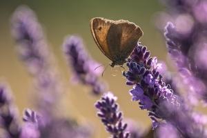gewöhnliches Wiesenvögelchen auf Lavendel