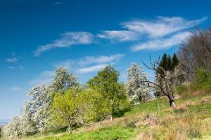 Obstbaumblüte-Eckwälden