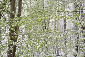 Buchen Mitte April_Trochtelfingen
