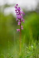 Männliches Knabenkraut orchis mascula