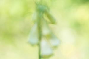 Großblütiger Fingerhut Digitalis grandiflora