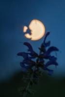 Wiesensalbei Salvia pratensis Kaltes Feld