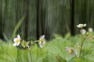 Wilde Erdbeeren Fragaria_Neidlinger Wasserfall