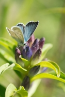 Silbergrüner Bläuling Polyommatus coridon