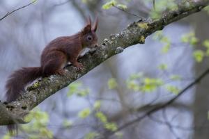 Eichhörnchen Sciurus vulgaris