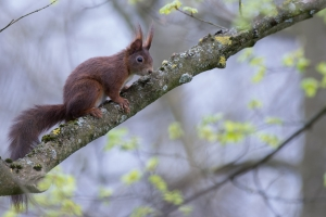 Eichhörnchen Sciurus vulgaris7
