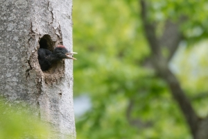 Schwarzspecht Jungvogel dryocopus martius
