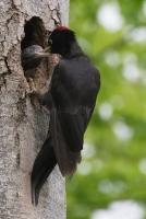 Schwarzspecht mit Jungvogel dryocopus martius