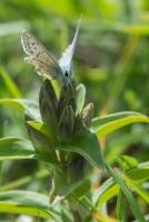 Bläuling Lycaenidae