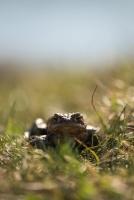 Erdkröte_Weiherwiesen Bufo bufo