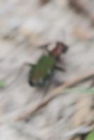 Sandlaufkäfer Cicindela germanica