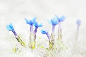 Frühlingsenzian (Gentiana verna)