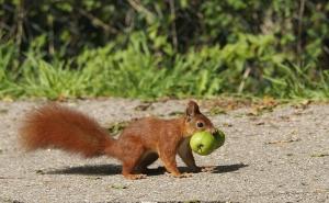 Eichörnchen mit Walnuss