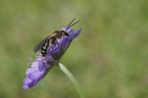 Wildbiene auf Knautie