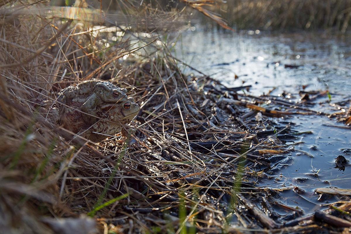 Erdkröte, Bufo bufo