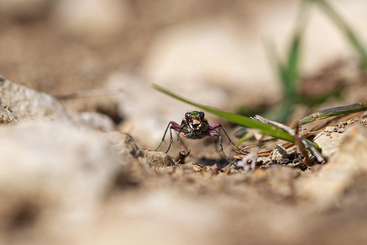 Feldsandlaufkäfer (Cicindela campestris)