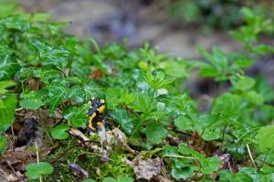 Feuersalamander, Salamandra salamandra