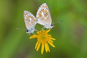 Himmelblauer Bläuling, Polyommatus bellargus