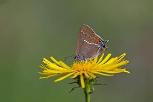 Kreuzdorn-Zipfelfalter Satyrium spini