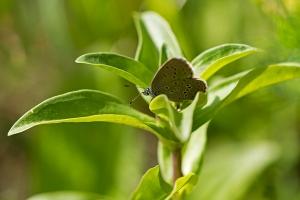Kreuzenzian-Ameisenbläuling Phengaris rebel