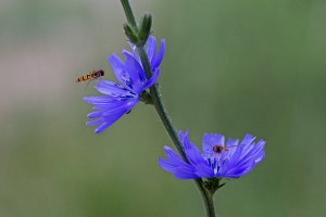 Hainschwebfliege (Episyrphus balteatus) an der Wegwarte (Cichorium intybus)