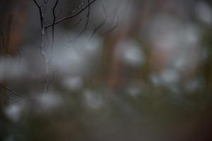 Märzenbecher oder Frühlings-Knotenblume - Leucojum vernum