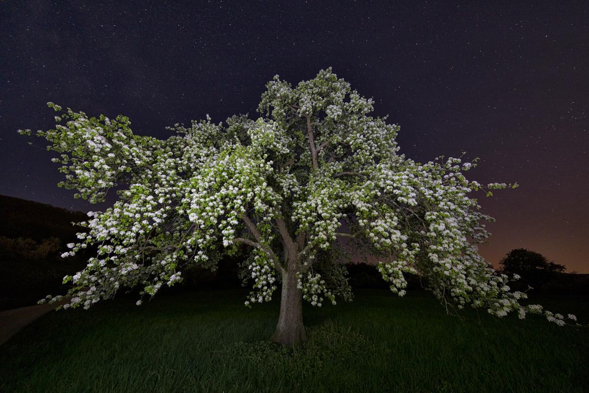 Nächtlich blühender Birnbaum